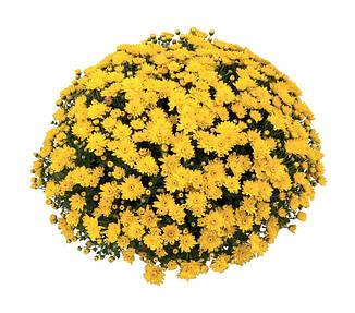 Саджанці Хризантема розсада Multiflora Conaco Yellow касета (100шт)
