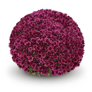 Саджанці Хризантема розсада Multiflora Arluno Mauve касета (100шт)