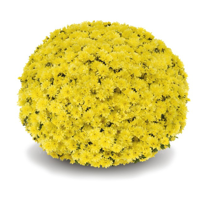 Саджанці Хризантема рассада Multiflora Arluno Yellow касета (100шт)