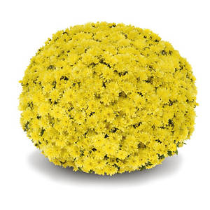 Саджанці Хризантема розсада Multiflora Arluno Yellow касета (100шт)