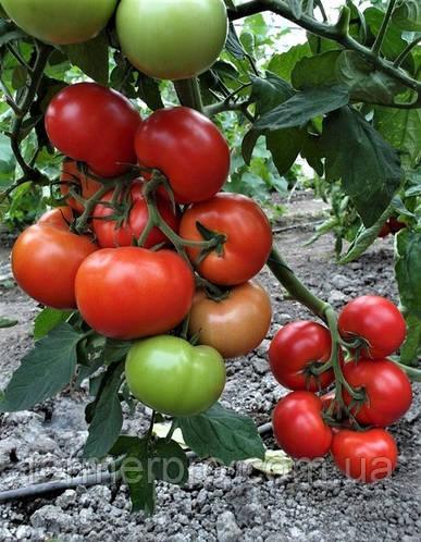 Семена томата Приос F1 \ Prios F1 100 семян Ergon seed
