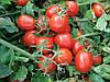 Семена томата 9661 F1 5000 семян Lark Seeds