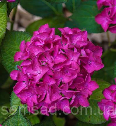 Гортензия крупнолистная Хорнли \ Hydrangea macrophylla Hornly ( саженцы ), фото 2