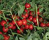 Семена томата 7204 F1 500 семян Lark Seeds