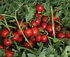 Семена томата 7204 F1 5000 семян Lark Seeds