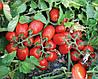 Семена томата 3402 F1 500 семян Lark Seeds