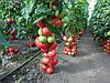 Семена томата Пинк Делайт F1 \ Pink Delight F1 100 семян Ergon seed