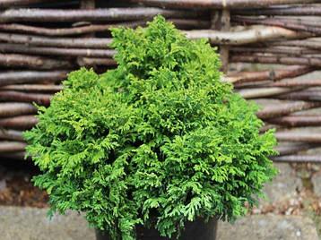 Кипарисовик горохоплідний Nana 3 річний, Кипарисовик горохоплодный Нана, Сhamaecyparis pisifera nana, фото 2