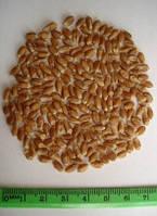 Семена пшеницы  Харьковская 30