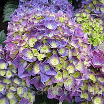 """Гортензия крупнолистная макрофила """" Джип Блю"""" \ Hydrangea macrophylla Jip Blue ( саженцы ), фото 2"""