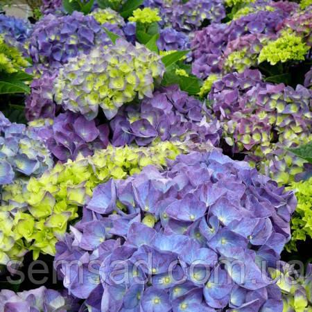 """Гортензия крупнолистная макрофила """" Джип Блю"""" \ Hydrangea macrophylla Jip Blue ( саженцы )"""