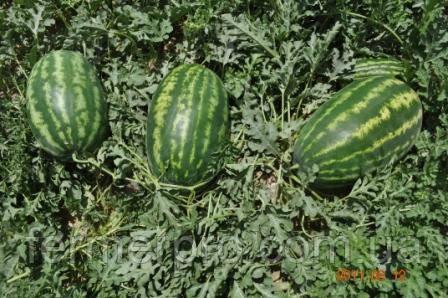 Семена арбуза Цицерио F1 \ Cicerio F1 100 семян Ergon seed