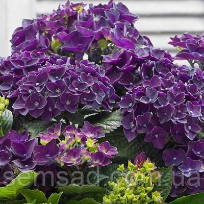 Гортензия крупнолистная Дип Пурпле Данс \ Hydrangea macrophylla Deep Purple Dance ( саженцы 2 года)