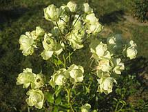 Роза Лавли Грин (Lovely Green) Флорибунда, фото 3