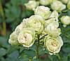 Роза Лавли Грин (Lovely Green) Флорибунда, фото 2
