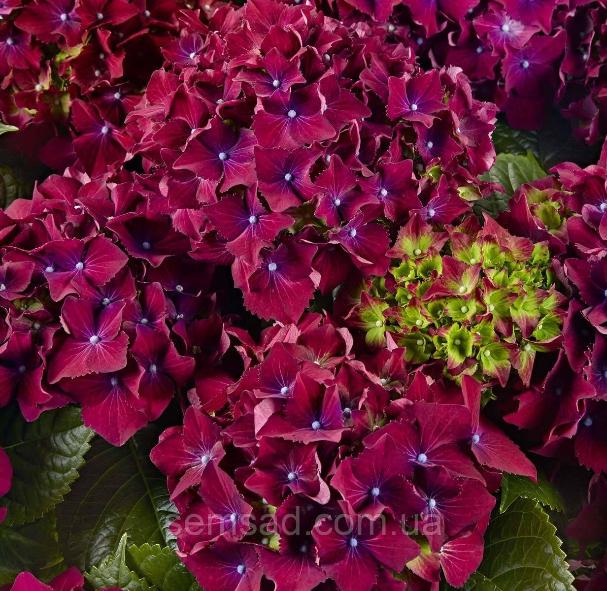 """Гортензия крупнолистная"""" Ред Бьюти Лила"""" \ Hydrangea macrophylla Red Beauty Lila ( саженцы) 2 года"""