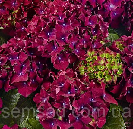"""Гортензия крупнолистная"""" Ред Бьюти Лила"""" \ Hydrangea macrophylla Red Beauty Lila ( саженцы) 2 года, фото 2"""
