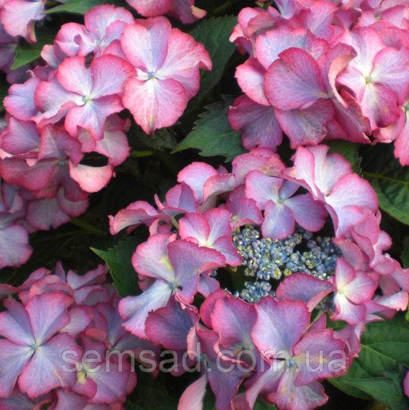 "Гортензия крупнолистная"" Тиффани Лила"" \ Hydrangea macrophylla Tiffany Lila ( саженцы )"
