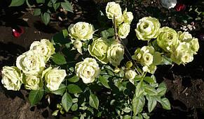 Роза Лавли Грин (Lovely Green) Флорибунда