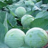 Семена капусты белокочанная Агрессор F1 (Польша SG), 100 шт