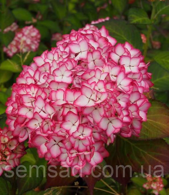 "Гортензия крупнолистная "" Графин Косел"" \ Hydrangea macrophylla Gräfin Cosel  ( саженцы )"