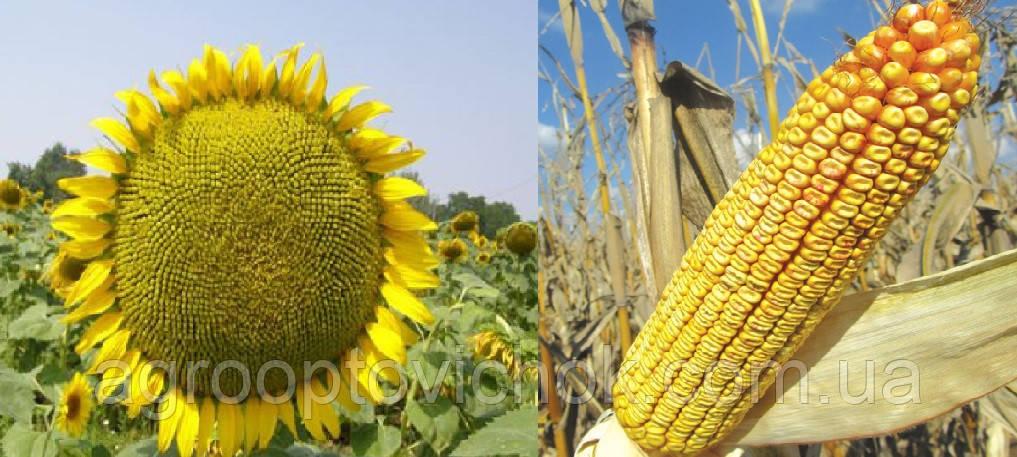 Семена подсолнечника Днестр стандарт