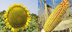 Семена кукурузы Заатбау Стаккато ФАО 270