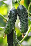 Семена огурца Криспина F1 (Crispina F1), 1000 семян, фото 1