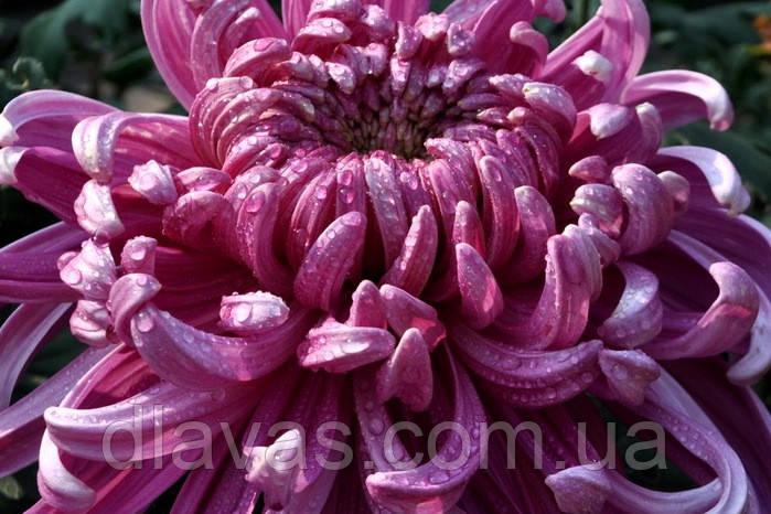 Хризантема крупноцветковая Vienna срезочная