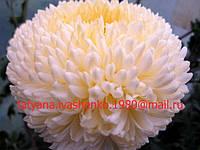 Хризантема крупноцветковая Кремист Белый