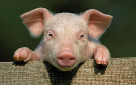 Премікси для свиней Feed Farmer