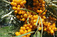 Світове виробництво обліпихи та які перспективи промислового вирощування даної ягоди  в Україні?