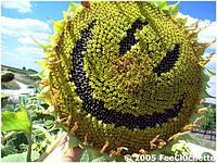 Семена подсолнечника Рими (Clearfield) г,Нови Сад (Сербия)