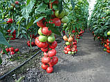 Насіння томату Пінк Делайт F1 (100 yfc.) Ergon, фото 3