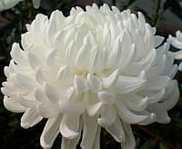Хризантема крупноцветковая срезочная Чита