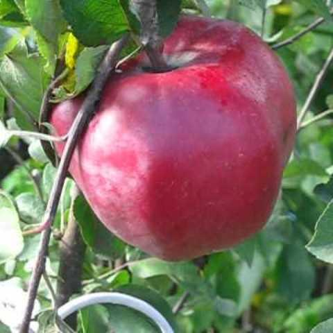 Яблоня Джумбо Помм