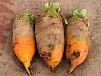Семена свеклы кормовой Урсус (Польша), фото 1
