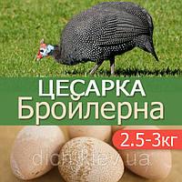 Цесарка Бройлерная Французская (метис), ЕСООР