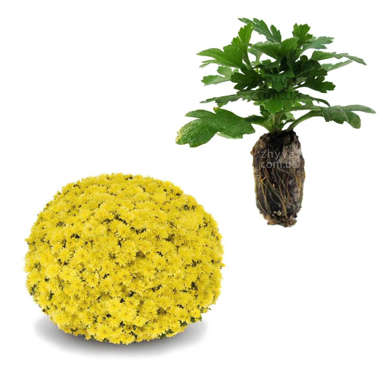 "Саджанці Хризантема Multiflora ""Arluno Yellow '' 1шт / Рассада Хризантема Multiflora ""Arluno Yellow''"