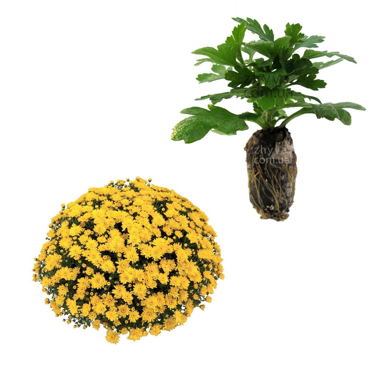Саджанці Хризантема рассада Multiflora Conaco Yellow касета (100шт)