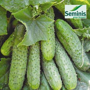 МАША F1 / MASHA F1, 10 семян — огурец партенокарпический, Seminis