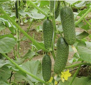 КОМПОНИСТ F1 / COMPONIST F1, 10 семян — огурец партенокарпический, Rijk Zwaan, фото 2