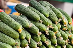 МАРИНДА F1 / MARINDA F1, 10 семян — огурец партенокарпический, Seminis, фото 3