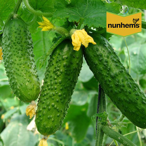 Аякс F1 семена огурца, 20 семян — пчелоопыляемый, Nunhems
