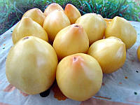 Томат Белая вишня , фото 1