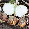 Семена репчатого лука Панчер F1 100 000 семян Lark Seeds