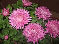 """Крупноцветковая горшечная хризантема """"Фрези"""""""
