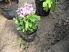 """Крупноцветковая горшечная хризантема """"Роми"""""""