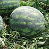 Семена арбуза Зенго F1 1000 семян Lark Seeds