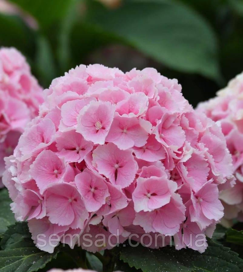 Гортензиякрупнолистная Пинк Сенсация \ Hydrangea macrophylla Pink Sensation ( саженцы )